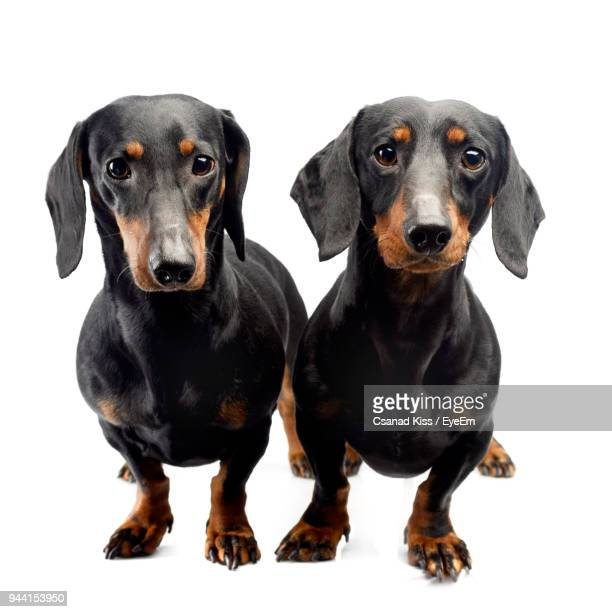 close-up portrait of dogs against white background - dachshund stock pictures, royalty-free photos & images