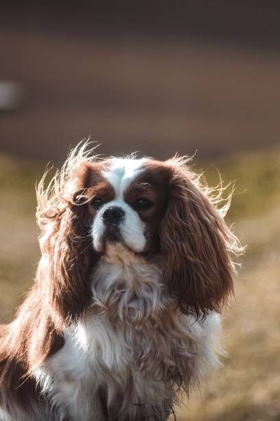 Close-up portrait of dog,Sabile,Latvia