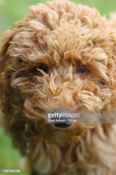 close-up portrait of dog,united kingdom,uk - dave ashwin stock pictures, royalty-free photos & images