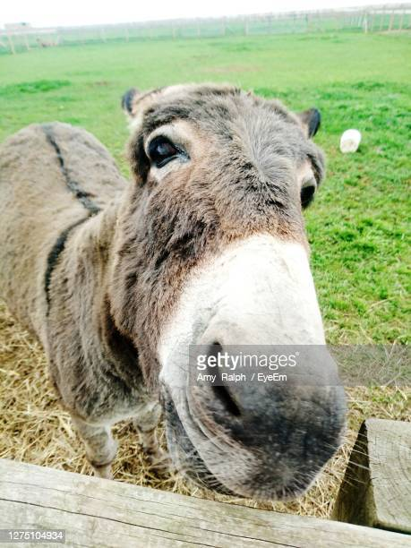 close-up portrait of donkey on field - animal mouth stock pictures, royalty-free photos & images