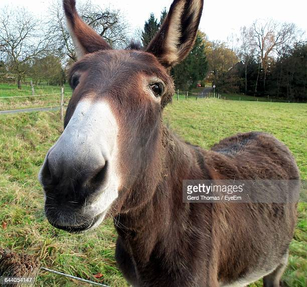close-up portrait of donkey on grassy field - jackass images stock pictures, royalty-free photos & images