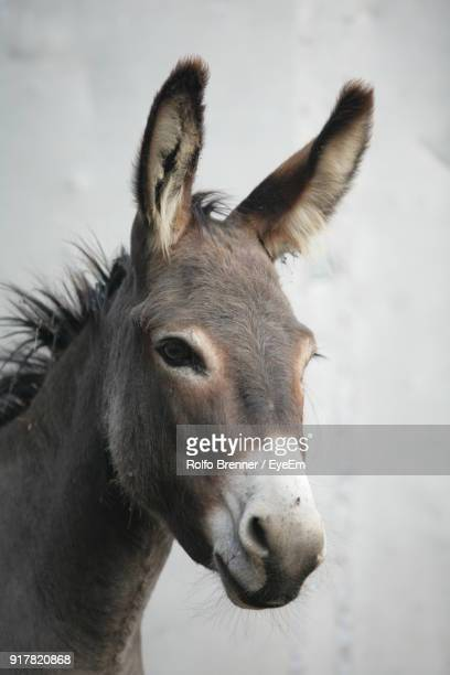 close-up portrait of donkey - donkey stock pictures, royalty-free photos & images