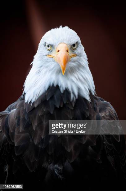 close-up portrait of eagle against gray background - eagle golf stock pictures, royalty-free photos & images