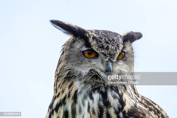 close-up portrait of eagle owl against clear sky,united kingdom,uk - animal stock pictures, royalty-free photos & images