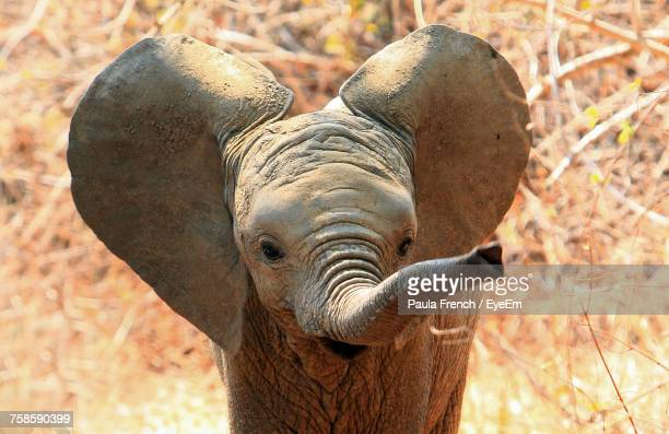 close-up portrait of elephant calf - baby elephant stock photos and pictures
