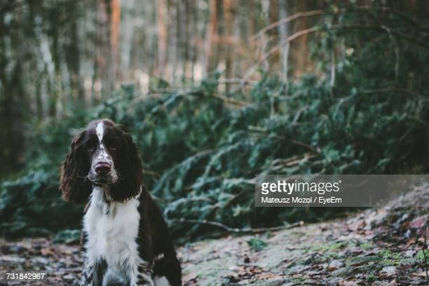 close-up portrait of english springer spaniel in forest - english springer spaniel stock pictures, royalty-free photos & images