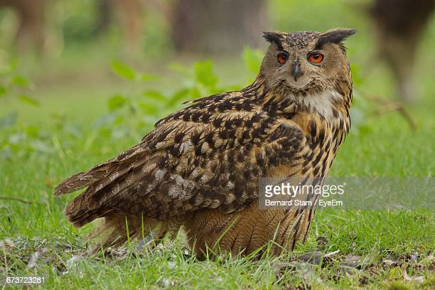Close-Up Portrait Of Eurasian Eagle-Owl Perching On Field