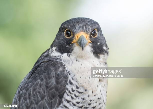 close-up portrait of falcon - hawk stock pictures, royalty-free photos & images