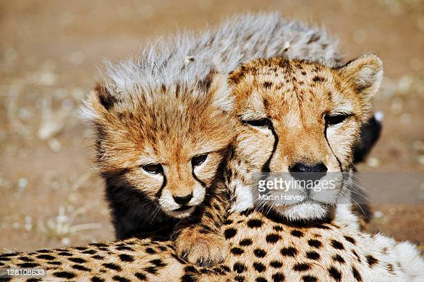 Closeup portrait of female Cheetah, Acinonyx jubatus, with cub. Endangered species. Namibia. Dist. Africa & Middle East.