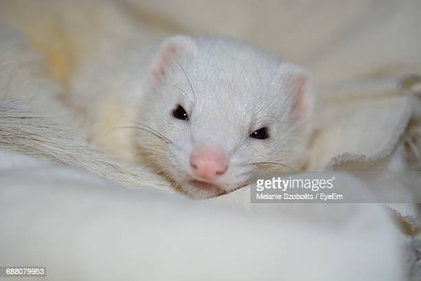 Close-Up Portrait Of Ferret Kit Relaxing On Fur