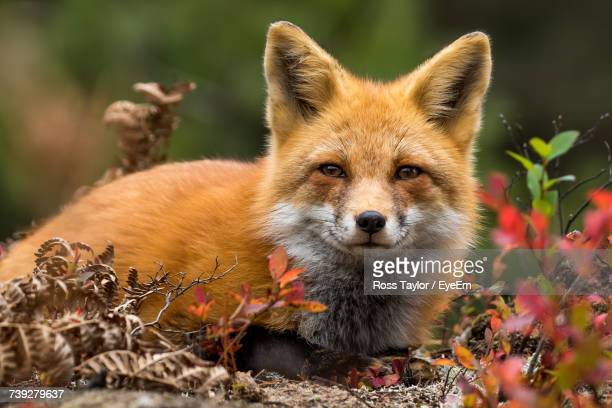 close-up portrait of fox - fox stock pictures, royalty-free photos & images