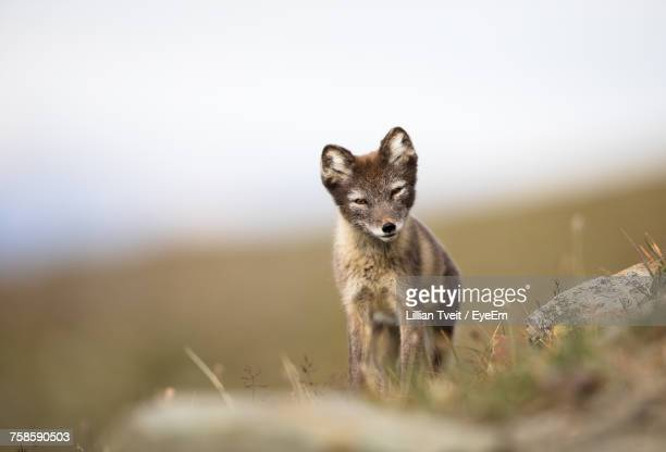 close-up portrait of fox - squinting stock photos and pictures