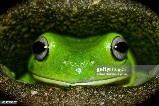 Close-Up Portrait Of Frog In Hole