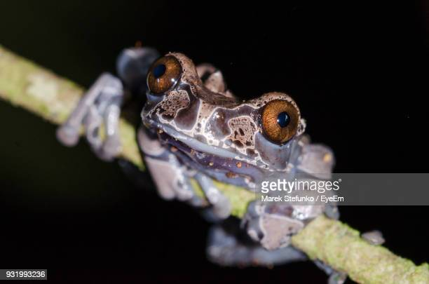 close-up portrait of frog on plant at night - marek stefunko stock pictures, royalty-free photos & images
