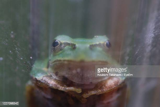 close-up portrait of frog through the window - koukichi stock pictures, royalty-free photos & images