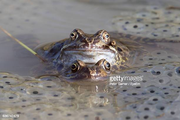 Close-Up Portrait Of Frogs And Frogspawn In Pond