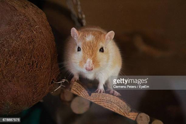 close-up portrait of gerbil on wood - gerbil - fotografias e filmes do acervo