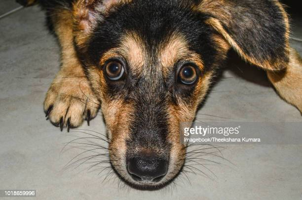 close-up portrait of german shepherd puppy lying on floor - imagebook stock pictures, royalty-free photos & images