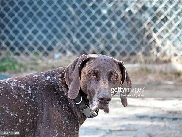 Close-Up Portrait Of German Short-Haired Pointer On Sunny Day