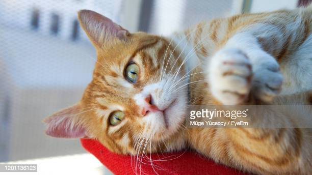 close-up portrait of ginger cat - aegean turkey stock pictures, royalty-free photos & images