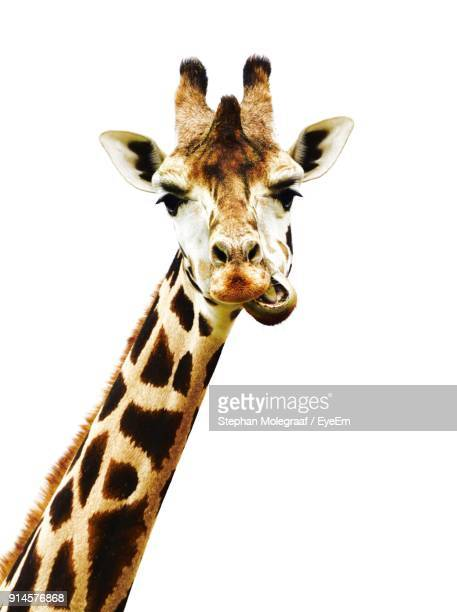 close-up portrait of giraffe against white background - white giraffe stockfoto's en -beelden
