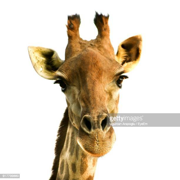 close-up portrait of giraffe against white background - white giraffe stock pictures, royalty-free photos & images