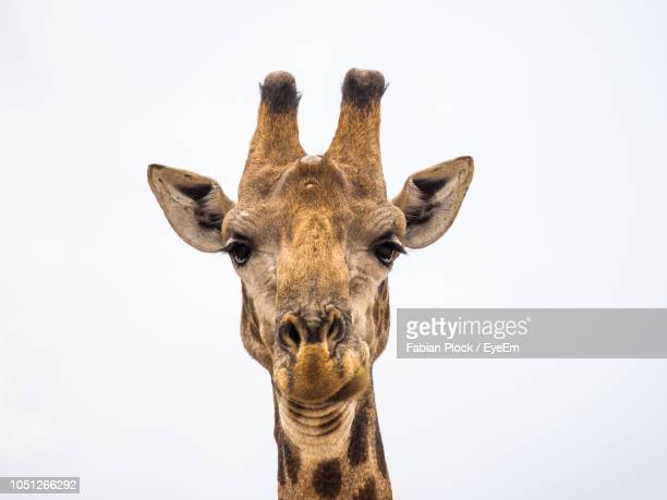 close-up portrait of giraffe against white sky - white giraffe stockfoto's en -beelden