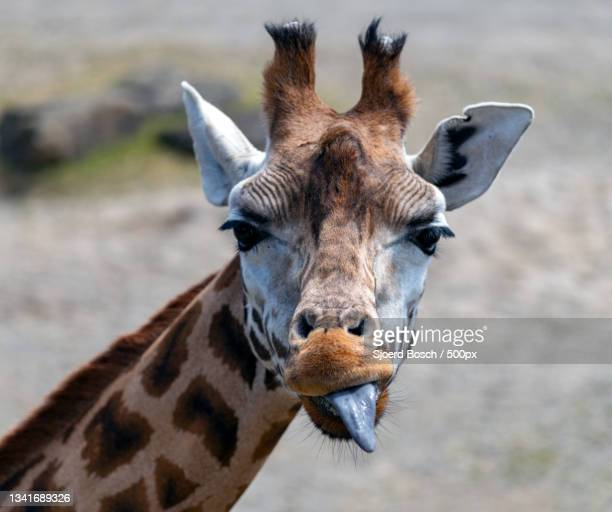 close-up portrait of giraffe,dublin,ireland - leinster province stock pictures, royalty-free photos & images