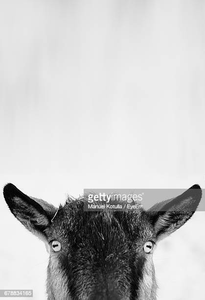 Close-Up Portrait Of Goat Against White Background