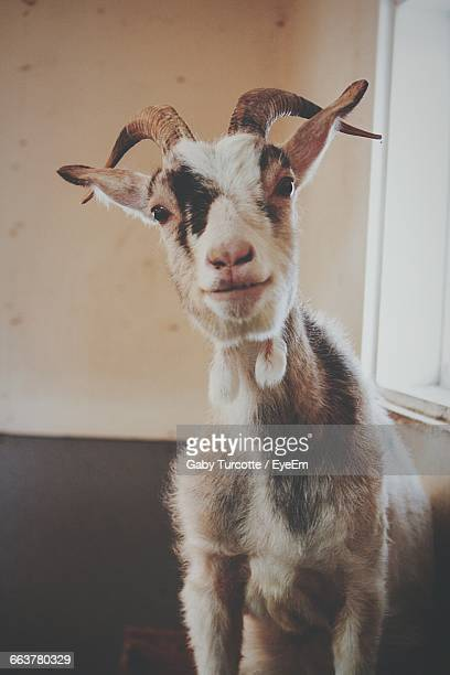 close-up portrait of goat - animal head stock pictures, royalty-free photos & images