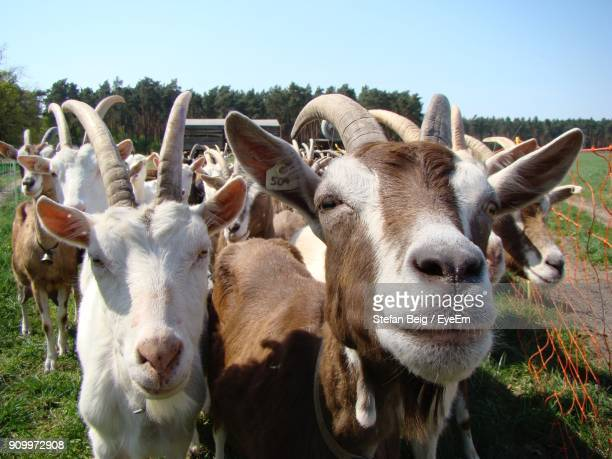 close-up portrait of goats on field against clear sky - goats stock pictures, royalty-free photos & images