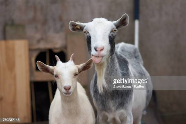 close-up portrait of goats - goats stock pictures, royalty-free photos & images