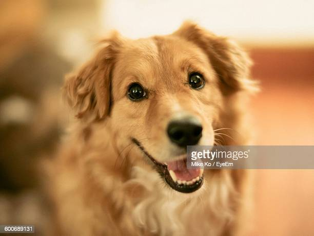 close-up portrait of golden retriever at home - golden retriever stock pictures, royalty-free photos & images