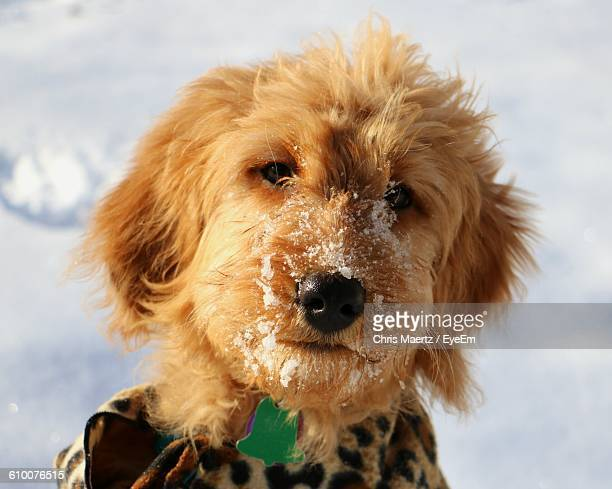 close-up portrait of goldendoodle during winter - goldendoodle stock photos and pictures