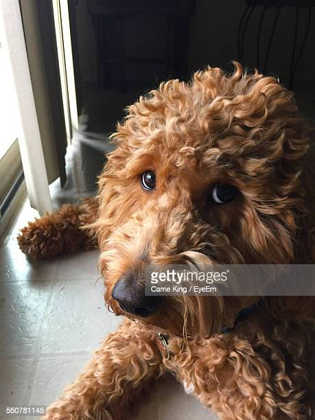 close-up portrait of goldendoodle relaxing on floor at home - goldendoodle stock-fotos und bilder