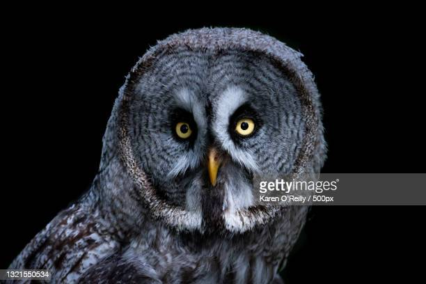 close-up portrait of great gray owl against black background,andover,united kingdom,uk - one mature man only stock pictures, royalty-free photos & images
