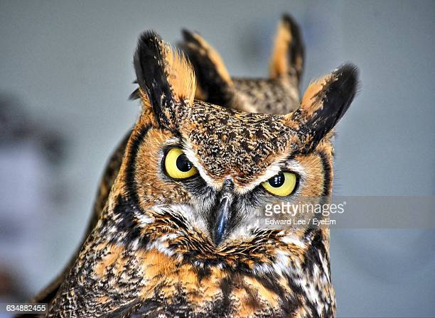 close-up portrait of great horned owl - great horned owl stock pictures, royalty-free photos & images