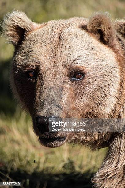 Close-Up Portrait Of Grizzly Bear