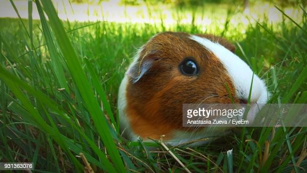 Close-Up Portrait Of Guinea Pig On Grassy Field