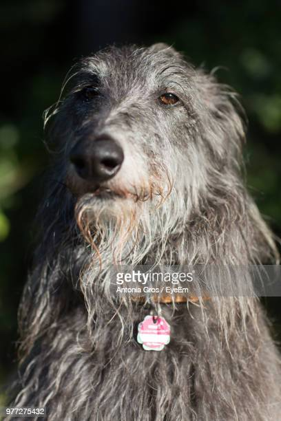 Close-Up Portrait Of Hairy Dog