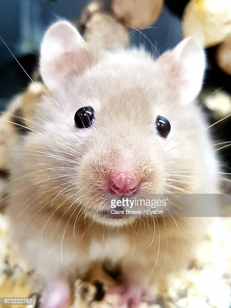 Close-Up Portrait Of Hamster At Store