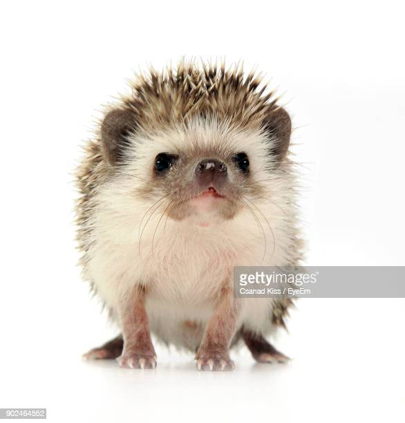 Close-Up Portrait Of Hedgehog Over White Background