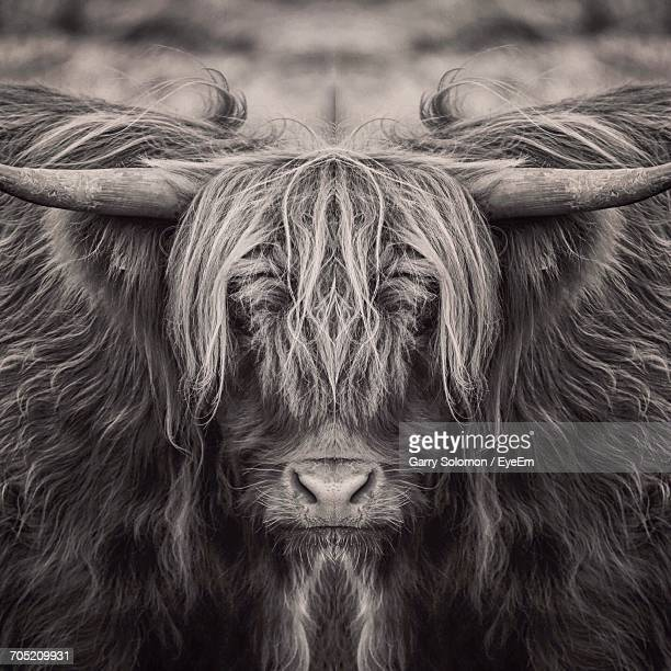 close-up portrait of highland cattle - highland cattle stock photos and pictures