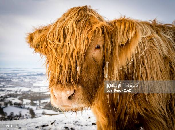 Close-Up Portrait Of Highland Cattle Standing On Snow Field Against Cloudy Sky