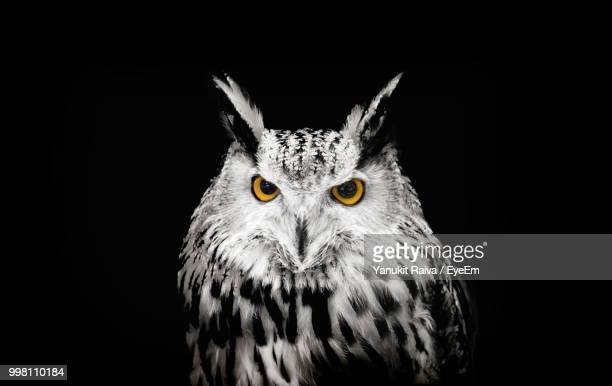 close-up portrait of horned owl against black background - owl stock pictures, royalty-free photos & images