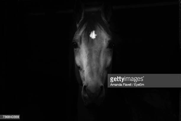 close-up portrait of horse against black background - equestrian animal photos et images de collection