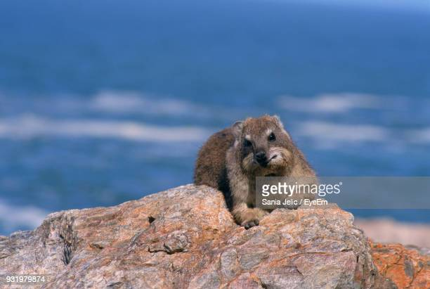 Close-Up Portrait Of Hyrax On Rock By Sea