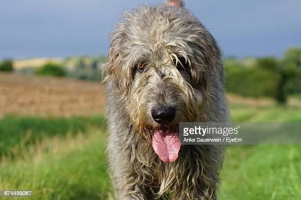 Close-Up Portrait Of Irish Wolfhound During Sunny Day