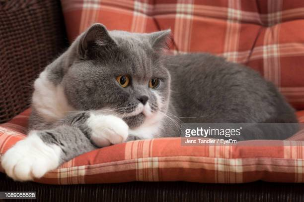 close-up portrait of kitten relaxing on sofa - british shorthair cat stock pictures, royalty-free photos & images