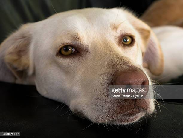 Close-Up Portrait Of Labrador Retriever Resting On Sofa